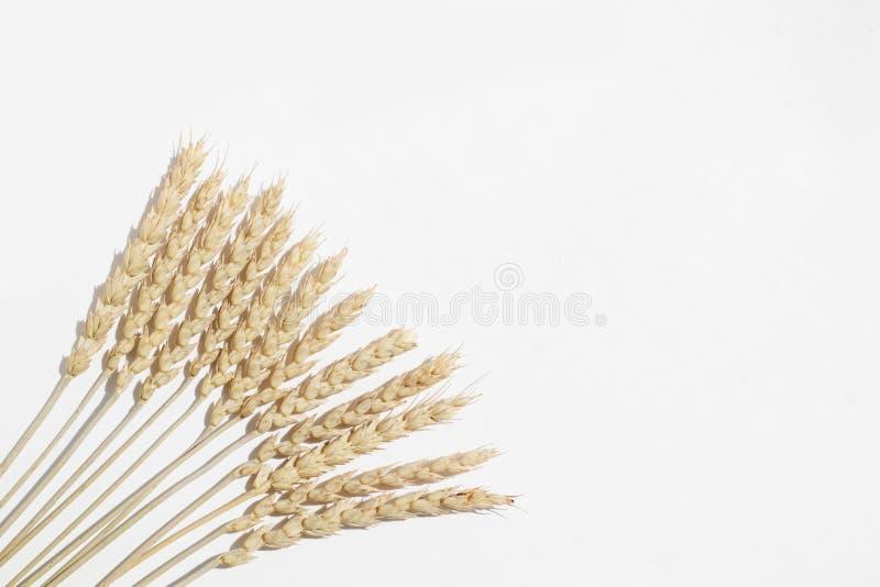 Ξηρά spikelets σίτου όπως έναν ανεμιστήρα σε ένα άσπρο υπόβαθρο στοκ εικόνες με δικαίωμα ελεύθερης χρήσης