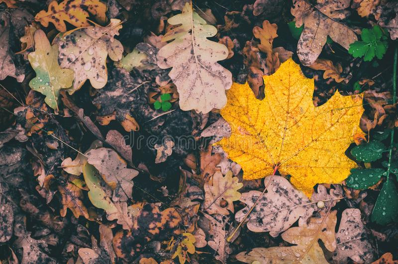 Ξηρασίας κίτρινη περίοδος φυλλώματος υποβάθρου φθινοπώρου πτώσης φύλλων τον Οκτώβριο στοκ φωτογραφία με δικαίωμα ελεύθερης χρήσης