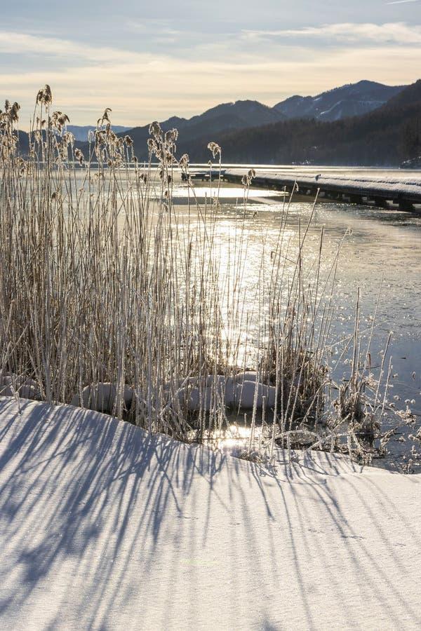 Ξηροί κάλαμοι σε μια παγωμένη λίμνη στοκ φωτογραφίες