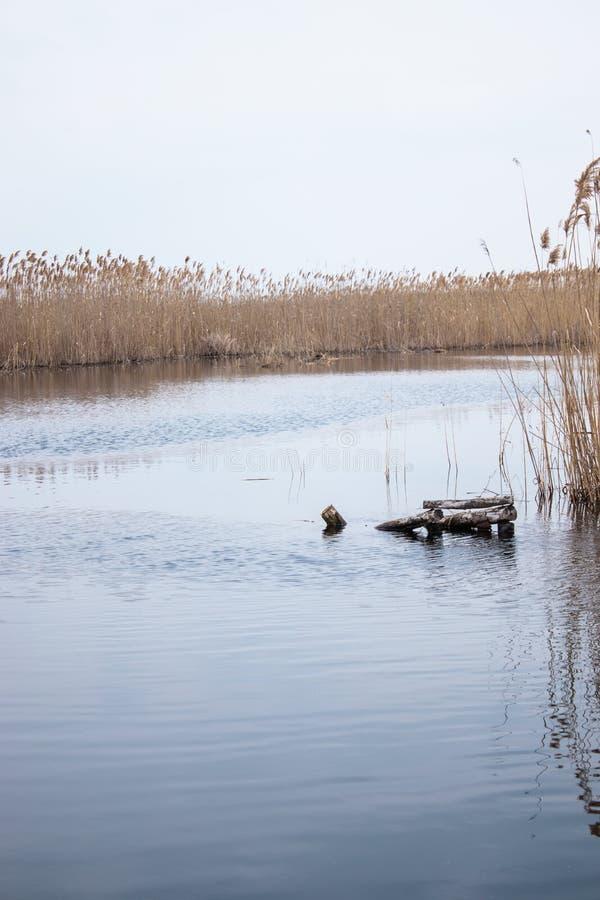 Ξηροί κάλαμοι στη λίμνη, ένα στρώμα των καλάμων, σπόροι των καλάμων στοκ εικόνα με δικαίωμα ελεύθερης χρήσης