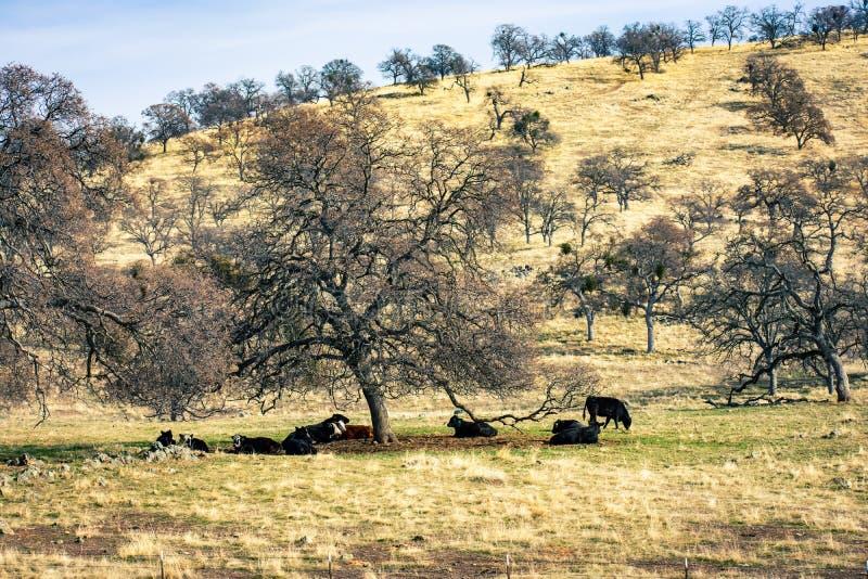 Ξηροί λόφοι και αγελάδες στήριξης κάτω από τα δέντρα στοκ εικόνα με δικαίωμα ελεύθερης χρήσης