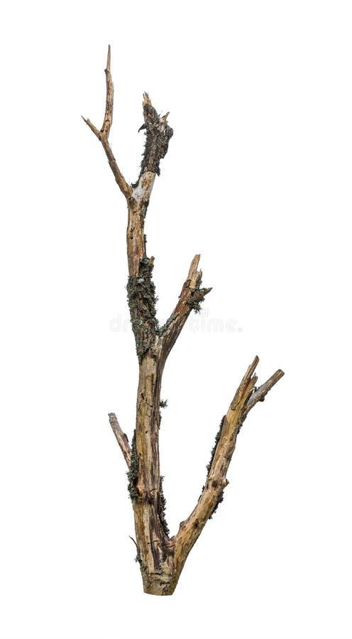 Ξηρός γυμνός κλάδος δέντρων Νεκρό στέλεχος που καλύπτεται από την πράσινη λειχήνα o στοκ εικόνα