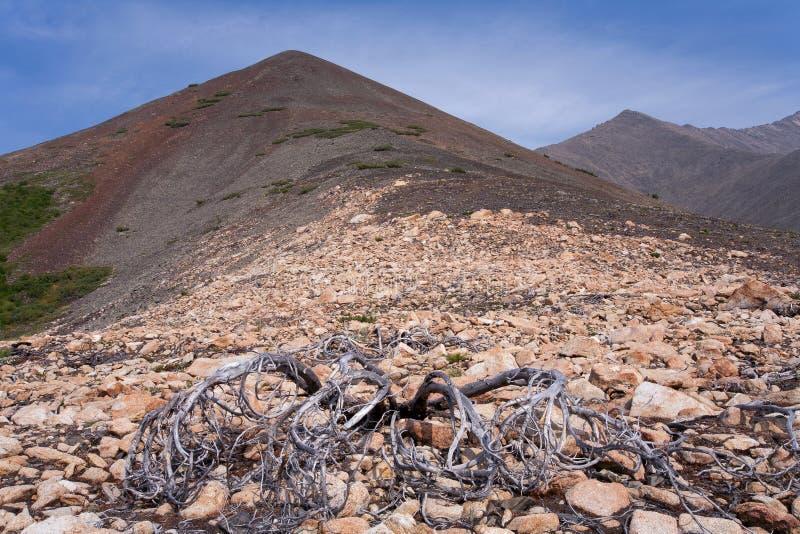 Ξηρός θάμνος κέδρων στοκ φωτογραφίες με δικαίωμα ελεύθερης χρήσης