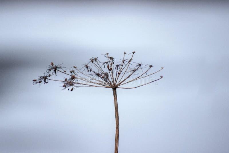 Ξηρός κλάδος του άνηθου σε ένα γκρίζο υπόβαθρο Βλάστηση των εγκαταστάσεων hibernation στοκ εικόνες με δικαίωμα ελεύθερης χρήσης