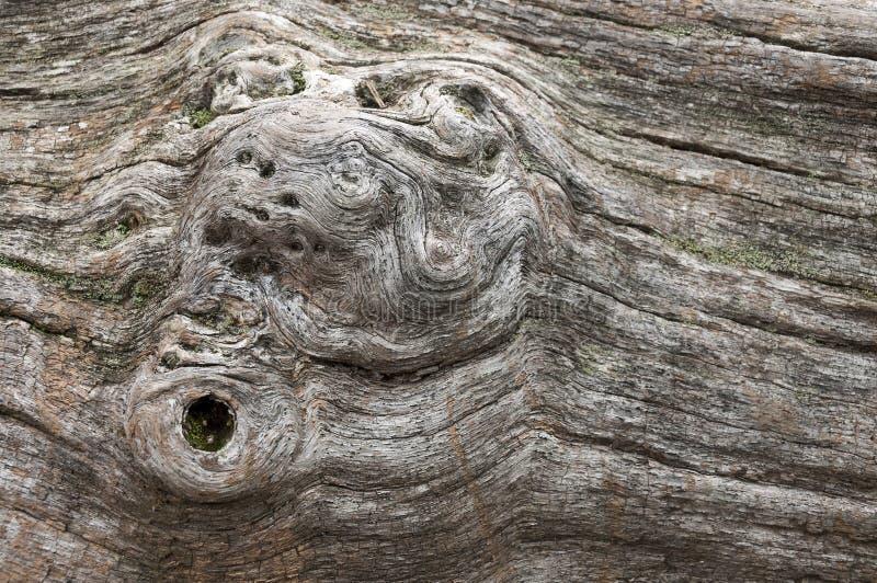 Ξηρός κορμός δέντρων με τα καρύδια στοκ εικόνα με δικαίωμα ελεύθερης χρήσης