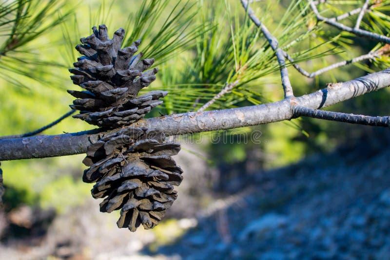 Ξηρός κώνος πεύκων σε ένα δέντρο πεύκων στις άγρια περιοχές στοκ φωτογραφίες