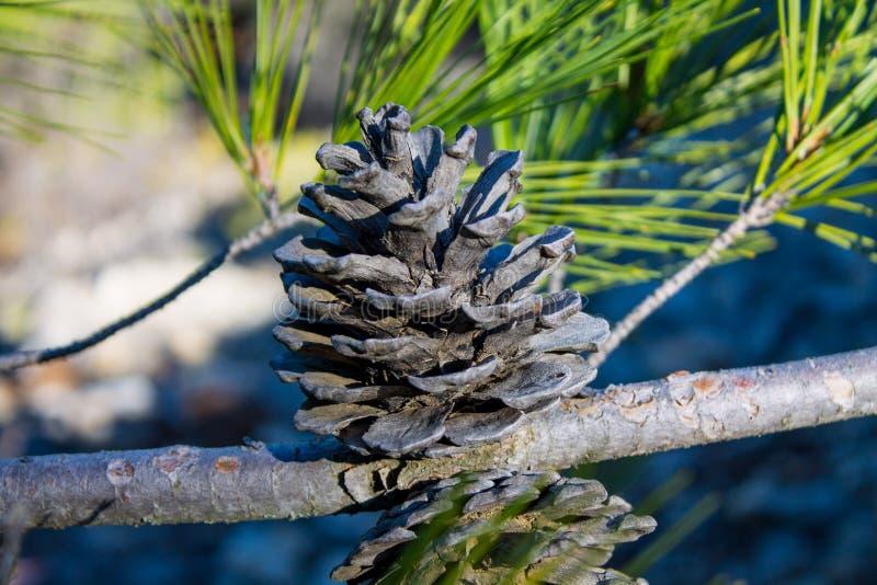Ξηρός κώνος πεύκων σε ένα δέντρο πεύκων στις άγρια περιοχές στοκ εικόνα