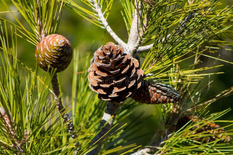 Ξηρός κώνος πεύκων σε ένα δέντρο πεύκων στις άγρια περιοχές στοκ εικόνες