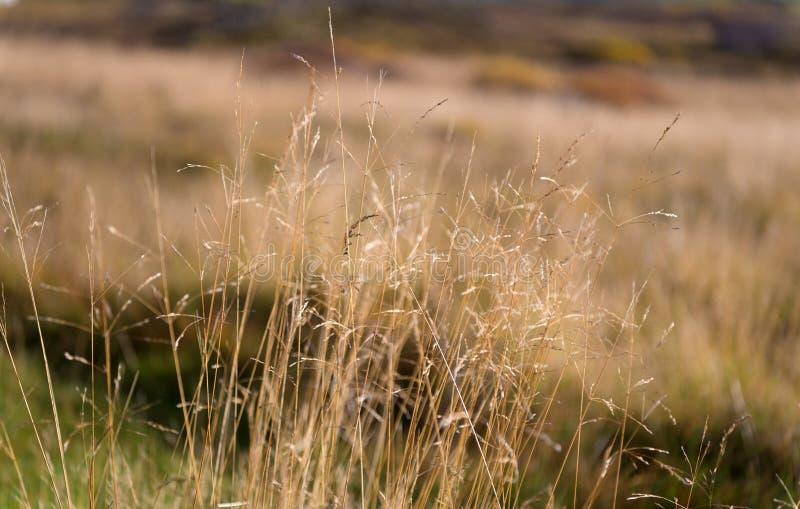 Ξηρός spikelets ηλιόλουστος στενός επάνω ημέρας φθινοπώρου Ποικιλομορφία βλάστησης Όροι κλίματος αντίστασης εγκαταστάσεων Spikele στοκ εικόνα