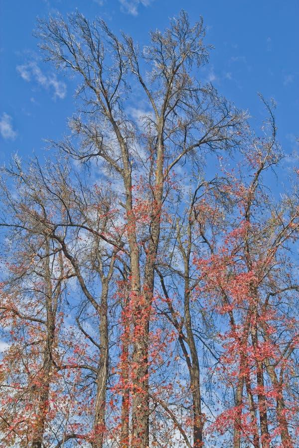 Ξηρό δάσος δέντρων mapple στοκ φωτογραφία με δικαίωμα ελεύθερης χρήσης