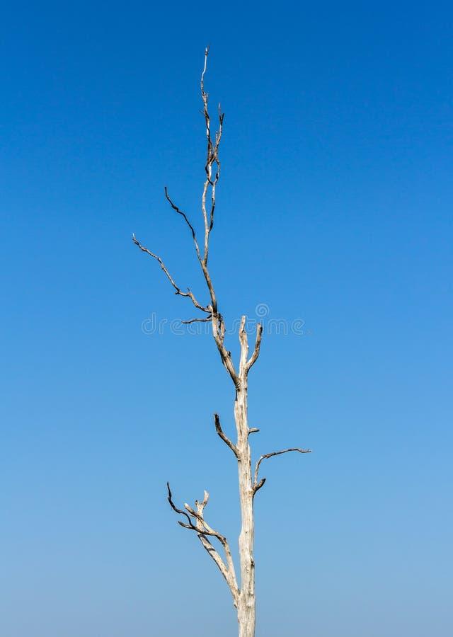 Ξηρό δέντρο νεκρό, μπλε υποβάθρου στοκ εικόνες