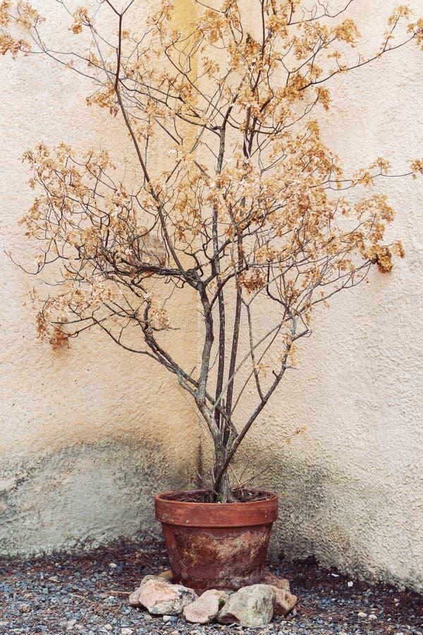 Ξηρό δέντρο στο δοχείο λουλουδιών στοκ εικόνα με δικαίωμα ελεύθερης χρήσης