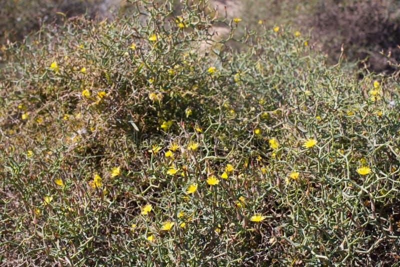 Ξηρό έδαφος του νησιού Lobos, καναρίνι, Ισπανία Βλάστηση Launaea arborescens στοκ εικόνες