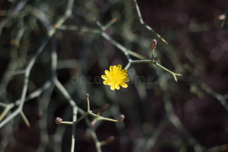 Ξηρό έδαφος του νησιού Lobos, καναρίνι, Ισπανία Βλάστηση Launaea arborescens στοκ φωτογραφίες με δικαίωμα ελεύθερης χρήσης