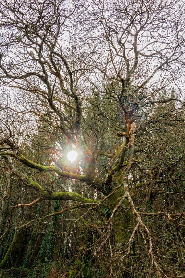 Ξηρό δέντρο σε ένα δάσος με τον ήλιο που λάμπει μεταξύ των κλάδων, νεφελώδης ημέρα στοκ εικόνες