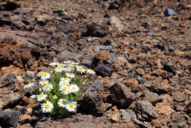 ξηρό λουλούδι ερήμων μόνο στοκ εικόνα με δικαίωμα ελεύθερης χρήσης