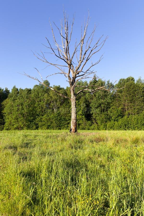 ξηρό μόνο δέντρο ανάπτυξης στοκ εικόνα