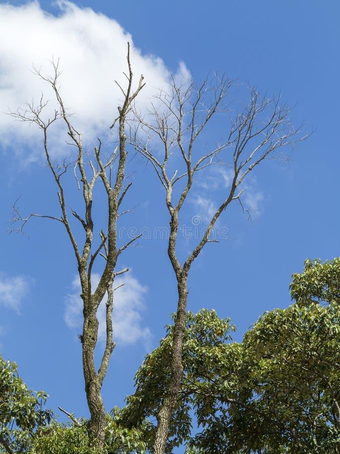 Ξηρό νεκρό δέντρο στη μέση των πράσινων φύλλων με το υπόβαθρο μπλε ουρανού με τα άσπρα σύννεφα στοκ φωτογραφίες με δικαίωμα ελεύθερης χρήσης
