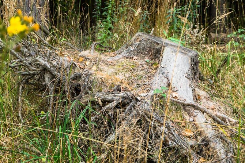 Ξηρό παλαιό κολόβωμα, που τραβιέται έξω από το έδαφος στοκ εικόνα με δικαίωμα ελεύθερης χρήσης