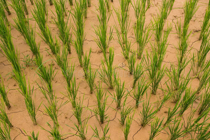 ξηρό ρύζι ορυζώνα στοκ φωτογραφίες με δικαίωμα ελεύθερης χρήσης