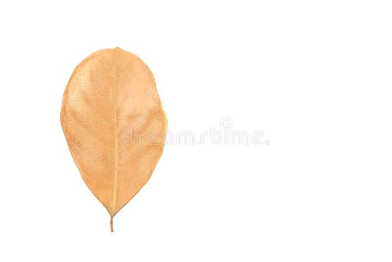 Ξηρό φύλλο που απομονώνεται στο άσπρο υπόβαθρο στοκ φωτογραφία