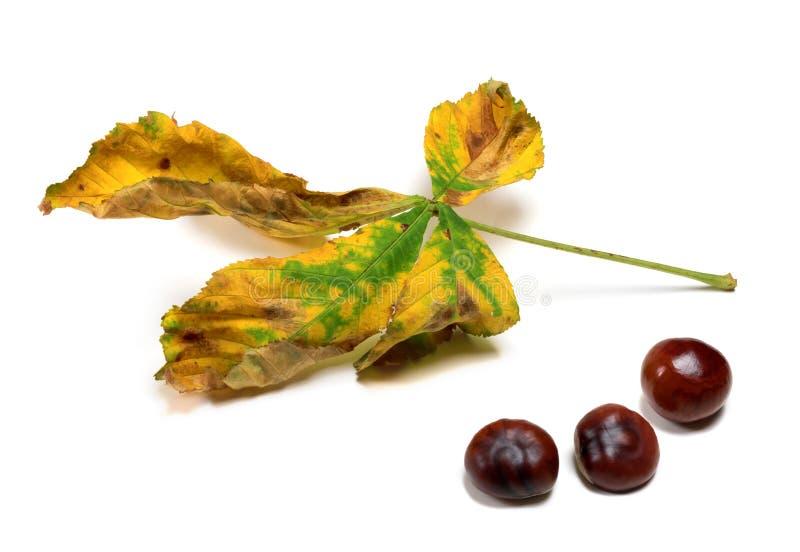Ξηρό φύλλο φθινοπώρου και τρεις σπόροι του κάστανου στοκ φωτογραφίες με δικαίωμα ελεύθερης χρήσης