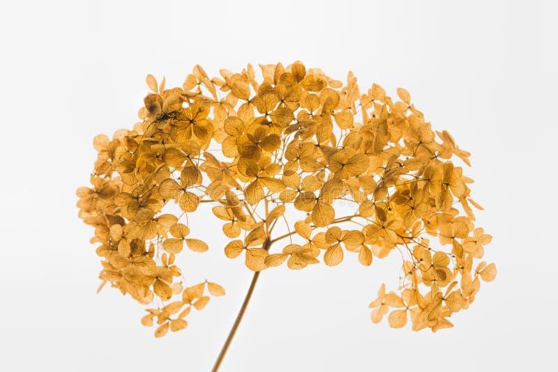 Ξηρό hortensia hydrangea στοκ φωτογραφία