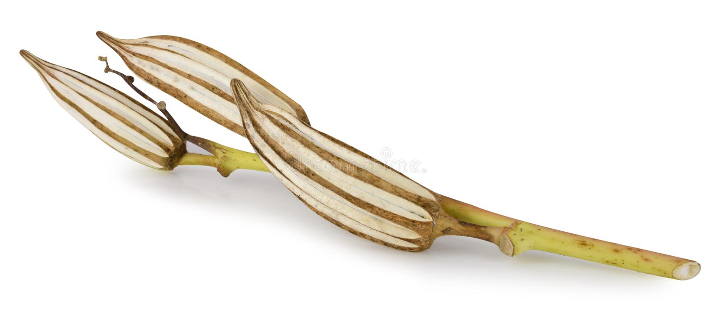 Ξηρό okra που απομονώνεται στο άσπρο υπόβαθρο στοκ φωτογραφία