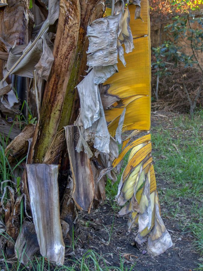 Ξηρό plantain φύλλο που κρεμά ακόμα από το δέντρο στοκ φωτογραφίες με δικαίωμα ελεύθερης χρήσης