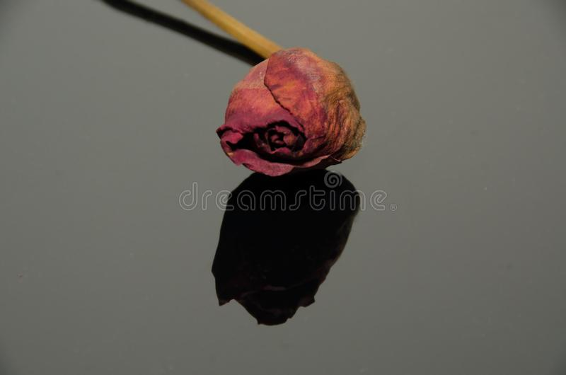 Ξηρό Yellow Rose σε ένα αντανακλαστικό μαύρο φύλλο στοκ φωτογραφία με δικαίωμα ελεύθερης χρήσης
