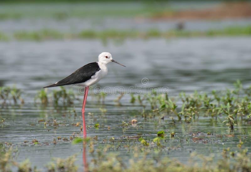 Ξυλοπόδαρο Blackwinged που στέκεται στο νερό του υγρότοπου στοκ εικόνα με δικαίωμα ελεύθερης χρήσης