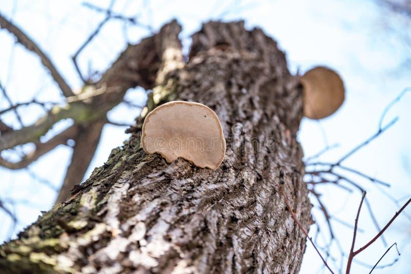 Ξύλινα μανιτάρια στον κορμό ενός δέντρου στοκ εικόνα