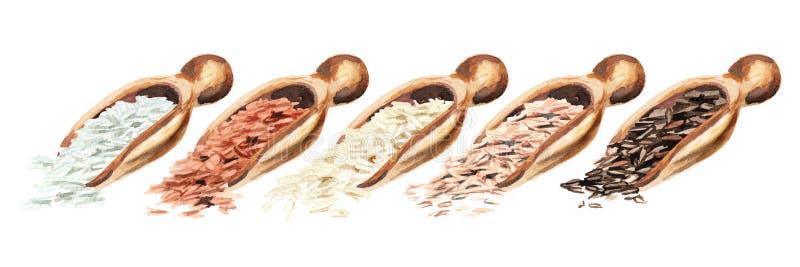 Ξύλινες σέσουλες με τους διαφορετικούς τύπους ρυζιού Συρμένη χέρι απεικόνιση Watercolor, που απομονώνεται στο άσπρο υπόβαθρο στοκ φωτογραφίες με δικαίωμα ελεύθερης χρήσης