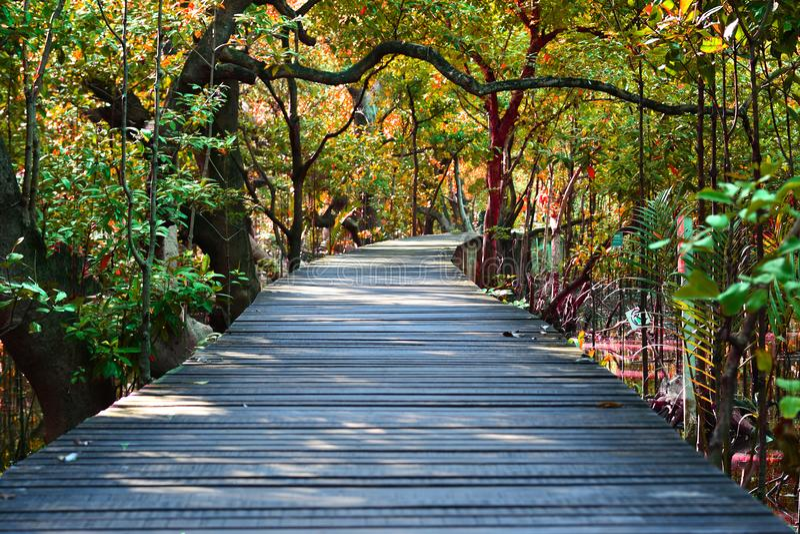 Ξύλινη διάβαση πεζών γεφυρών στο δάσος μαγγροβίων στοκ εικόνες