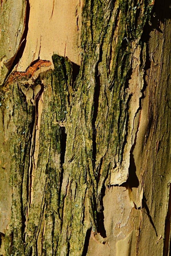 Ξύλινη σύσταση κορμών φλοιών του δέντρου Fontanesia Fortunei, ντόπιος στην Κίνα, στοκ φωτογραφία