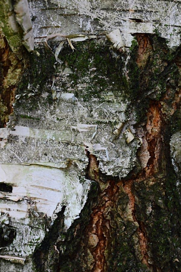 Ξύλινη σύσταση φλοιών της σημύδας κλαίουσα Σημύδα στοκ εικόνα με δικαίωμα ελεύθερης χρήσης