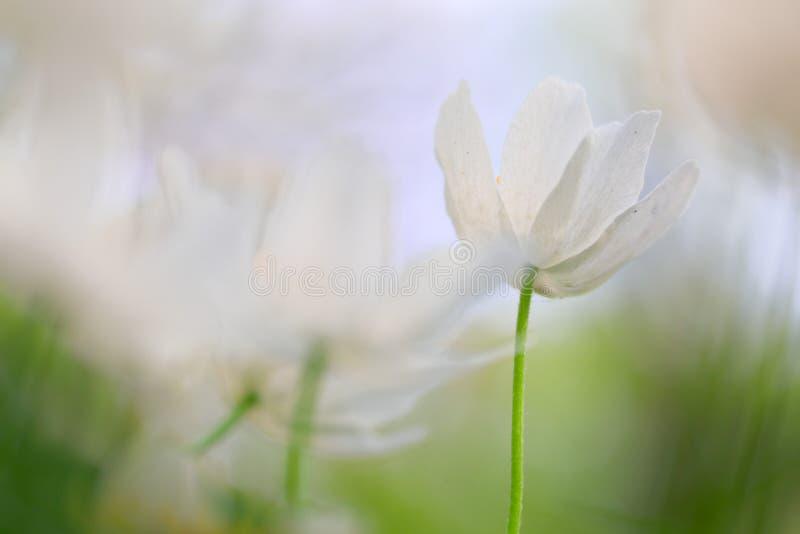 Ξύλινος μινιμαλισμός anemone στοκ φωτογραφίες με δικαίωμα ελεύθερης χρήσης