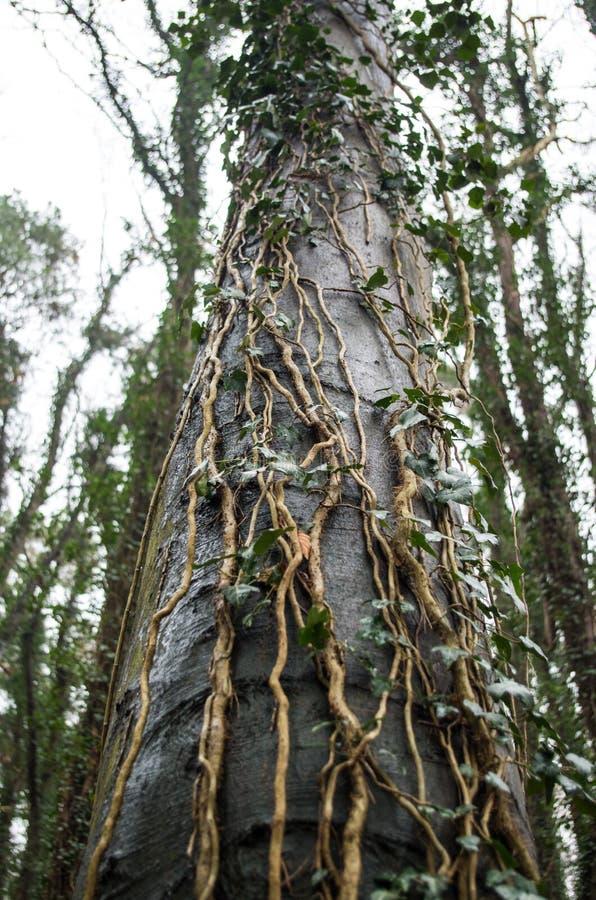 Ξύλινος προήλθε, μόνος-προσκολμένος κισσός ορειβατών στα δέντρα οξιών στοκ εικόνες