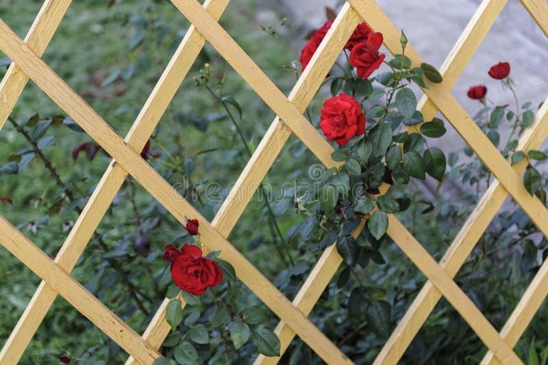 Ξύλινο δικτυωτό πλέγμα με τα κόκκινα τριαντάφυλλα στοκ φωτογραφίες