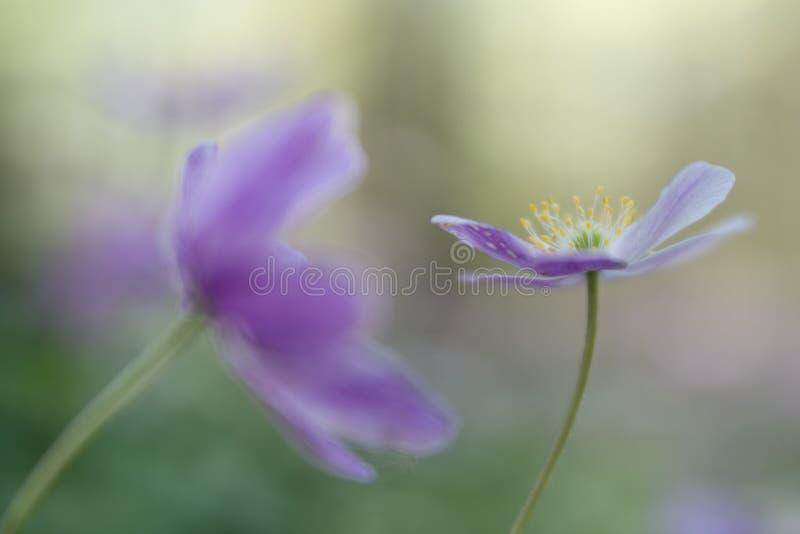 Ξύλινο εύθραυστο anemone Ένα ρόδινο ελατήριο wildflowe στοκ εικόνα με δικαίωμα ελεύθερης χρήσης