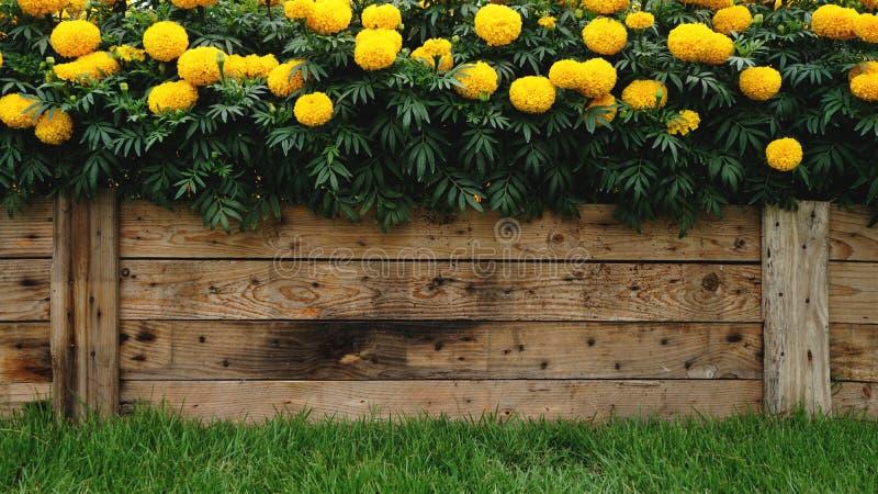 Ξύλινο υπόβαθρο σύστασης που διακοσμείται με το όμορφο κίτρινο marigold λουλούδι με το πράσινο πρώτο πλάνο χλόης στοκ εικόνες