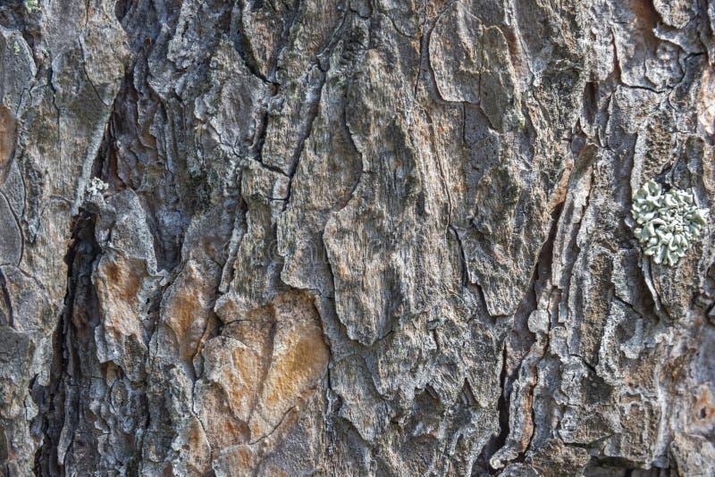 Ξύλινο υπόβαθρο σύστασης φλοιών δέντρων πεύκων στοκ εικόνα