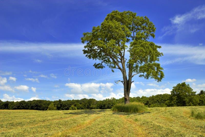 Download ξύλο καρυδιάς δέντρων στοκ εικόνες. εικόνα από ένας, οριζόντιος - 13190324