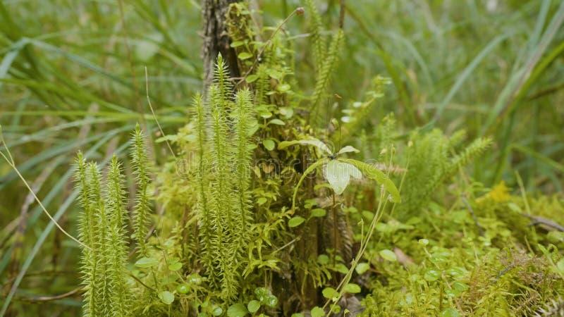 Ξύπνημα άνοιξη των λουλουδιών και της βλάστησης στη δασική δασική βλάστηση Φύση της δασικής, πράσινης χλόης στοκ φωτογραφίες με δικαίωμα ελεύθερης χρήσης