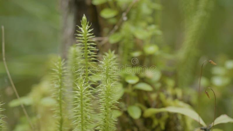 Ξύπνημα άνοιξη των λουλουδιών και της βλάστησης στη δασική δασική βλάστηση Φύση της δασικής, πράσινης χλόης στοκ εικόνες με δικαίωμα ελεύθερης χρήσης