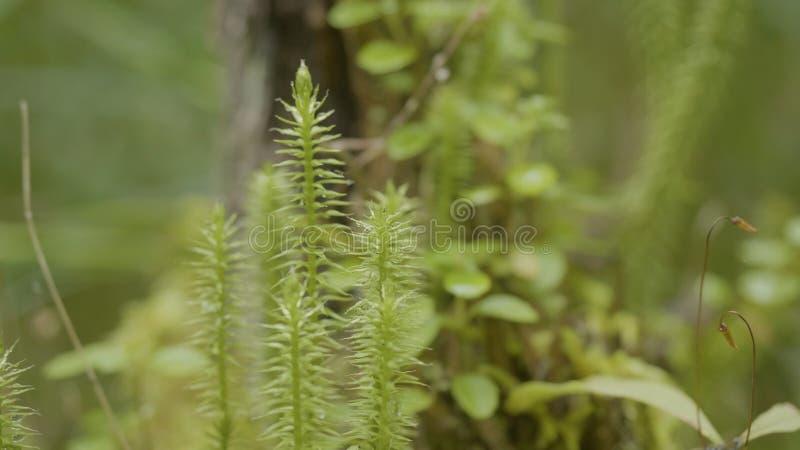 Ξύπνημα άνοιξη των λουλουδιών και της βλάστησης στη δασική δασική βλάστηση Φύση της δασικής, πράσινης χλόης στοκ φωτογραφία με δικαίωμα ελεύθερης χρήσης