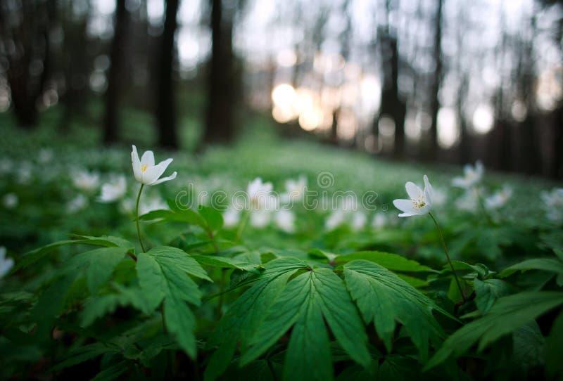 Ξύπνημα άνοιξη των λουλουδιών και της βλάστησης στο δάσος στο ηλιοβασίλεμα στοκ φωτογραφίες