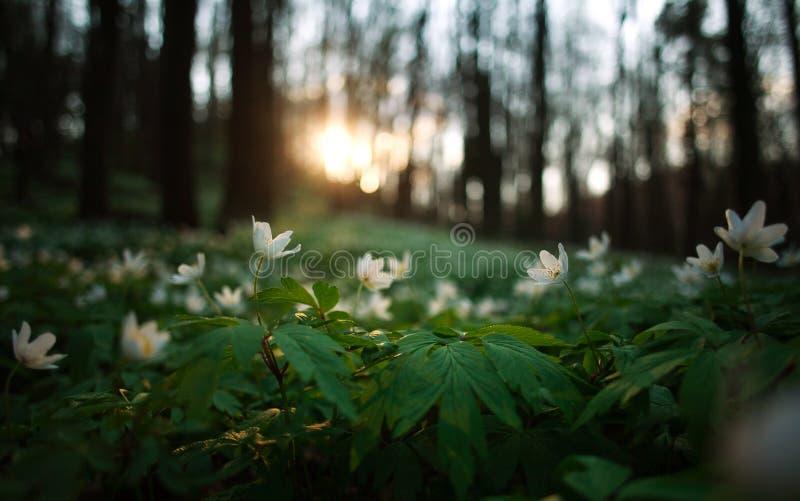 Ξύπνημα άνοιξη των λουλουδιών και της βλάστησης στο δάσος στο ηλιοβασίλεμα στοκ εικόνες με δικαίωμα ελεύθερης χρήσης
