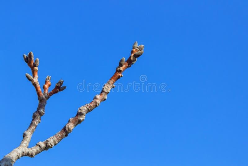 Ξύπνημα των πρώτων οφθαλμών άνοιξη στο δέντρο ξύλων καρυδιάς Έννοια - στοκ εικόνα