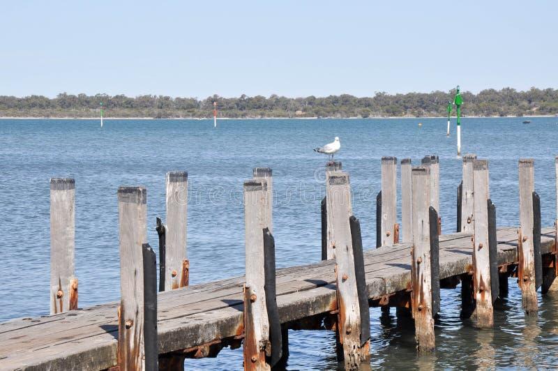 Ξύλινη αποβάθρα με τον αυστραλιανό γλάρο στοκ φωτογραφία